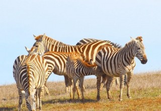 Wild Zebras along the CA Highway 1 Discovery Route (PRNewsfoto/California Highway 1 Discovery)